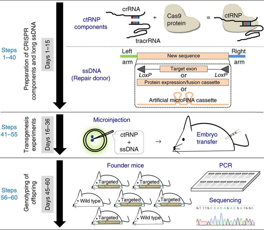 Schematic of Easi-CRISPR