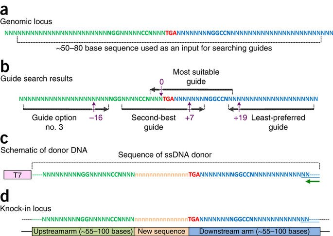 Design principles of knock-in using Easi-CRISPR and the architecture of the ssDNA donor.