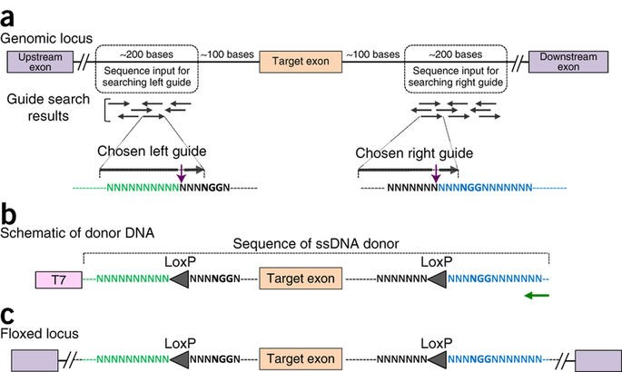 Design principles of creating conditional knock-outs using Easi-CRISPR and the architecture of the ssDNA donor.