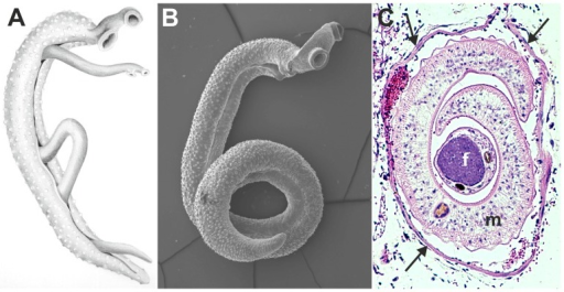 Images of adult schistosomes. Panel A shows a schematic drawing of an adult worm pair. The large adult male embraces the smaller female worm and both worms have two suckers by which they attach to the blood vessel wall. Panel B shows a scanning electron microscope image of a single S. mansoni adult male, which is about 1 cm long with a diameter of 1 mm. Panel C shows a cross-section of an adult S. mansoni worm pair (m, male; f, female; arrows mark the vessel wall) in a mesenteric venule of a mouse. This cross-section illustrates how close the worm pair is to the vessel wall and suggests the extent to which the worms must disturb blood flow (Panel C is adapted from D. G. Colley and W. E. Secor, PLoS Neglected Tropical Diseases 2007 [10]). Image Credit: Department of Medical Microbiology and Infectious Diseases, Erasmus University Medical Center, Rotterdam, The Netherlands.